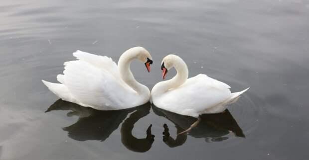 Еще две пары лебедей выпустили в Пенягинский пруд