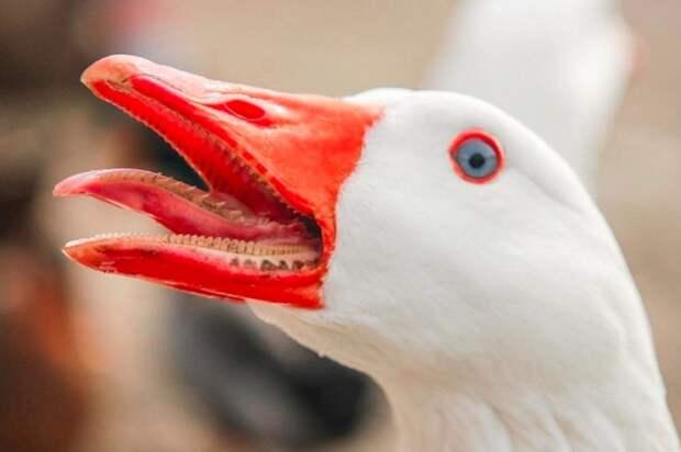 Зубы у гусей - не что иное, как ороговевшие пластинки, которые являются частью клюва / Фото: kot-pes.com