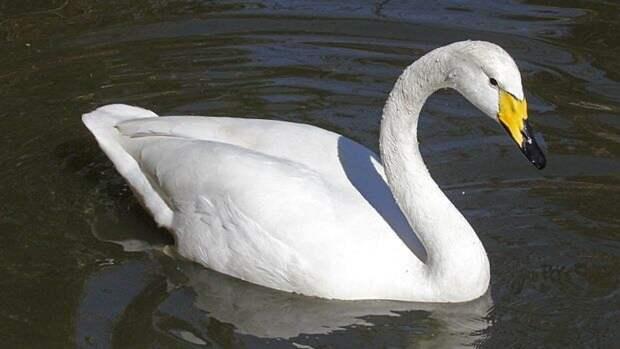 Лебедей-шипунов из Ленинградского зоопарка выпустили в пруд Летнего сада
