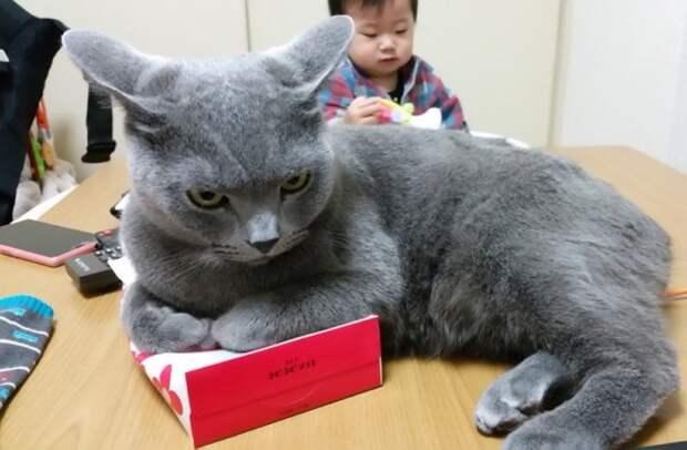 Этому коту нужна коробка для носовых платков каждый раз, когда он садится.