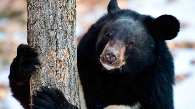 Человек охотится на уссурийского медведя ради его желчи