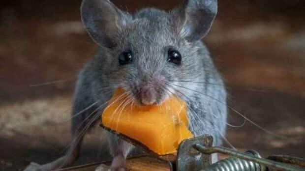 Мышки не любят соблюдать гигиену. /Фото: xcook.info