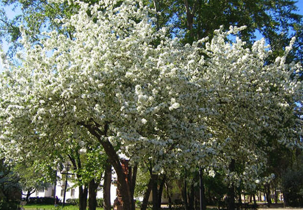 Почему сохнет вишня после цветения и что делать?
