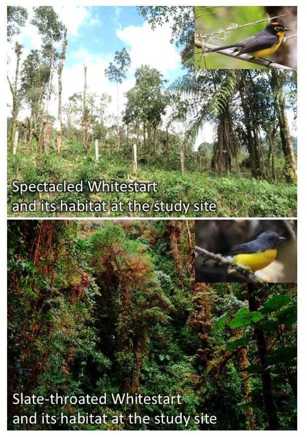 Два вида горихвостковых певунов с разных высот ужились в антропогенном ландшафте