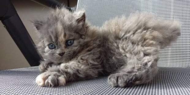Кудрявый котенок породы селкирк-рекс прославился в твиттере