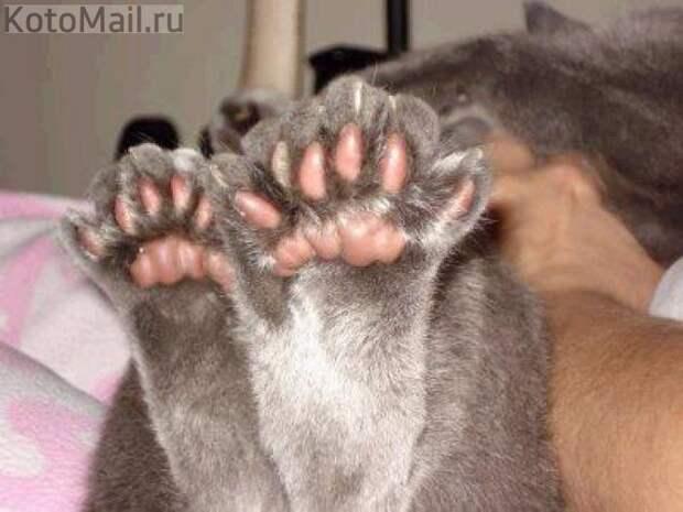 Картинки по запросу сколько пальцев у кошек