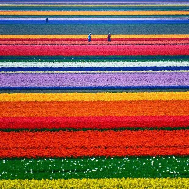 Легендарные тюльпановые поля в Нидерландах