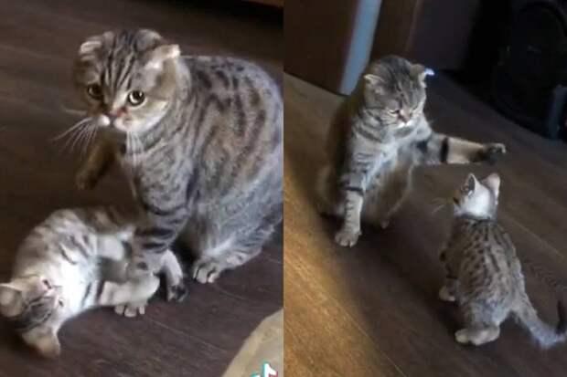 Поиграй со мной: настойчивые приставания котёнка к матери попали на видео