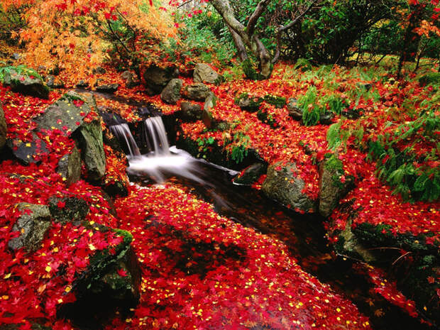 Japanese_Maple_and_Creek_Beacon_Hill_Park_Victoria_Britis (800x625, 719Kb)
