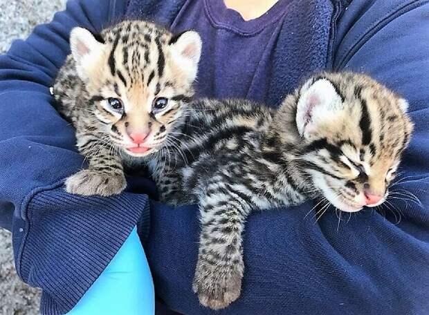 В зоопарках Эль-Пасо и Цинциннати появились рожденные в неволе оцелоты в неволе, дикая кошка, животные, зоопарк, искусственное оплодотворение, искусственное осеменение, оцелот, разведение