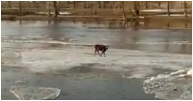 Застрявшая на дрейфующей льдине корова сама спасла себя