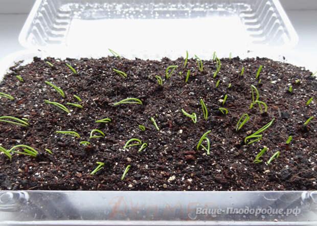 Лук: от семечка до луковицы весом в полкило за сезон!