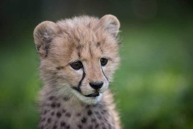 Дружба крепкая… Одинокий детеныш гепарда подружился с маленьким щенком