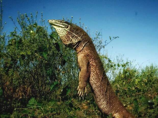 Гигантский варан: Опасный и агрессивный хищник, который не даёт австралийской фауне окончательно загнуться