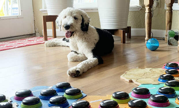 Собака научилась говорить с хозяйкой через кнопки со словами. Сегодня она знает уже 50 слов и продолжает учить новые