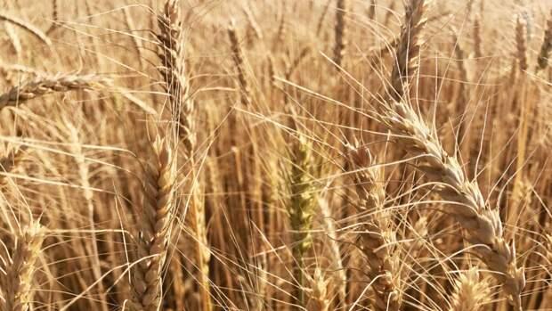 Минсельхоз США предрек России очень высокий урожай пшеницы