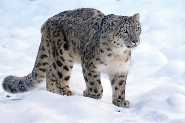 Снежный Барс, Хищник, Кошка, Под Угрозой