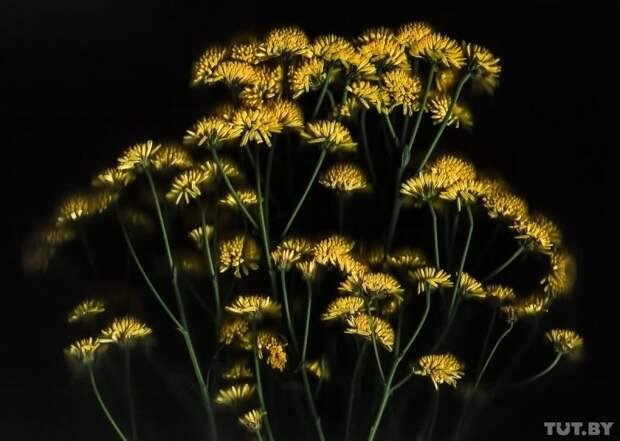 Хризантема гвоздика, интересно, растение, роза, тюльпан, факты, цветок, цветы