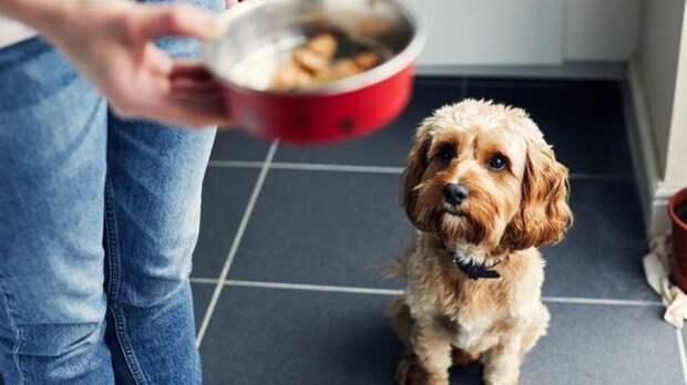 Собака с вожделением смотрит на миску с едой