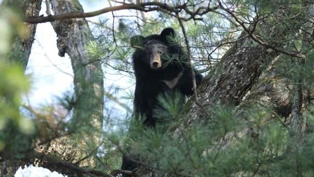 Гималайский медведь живет на деревьях