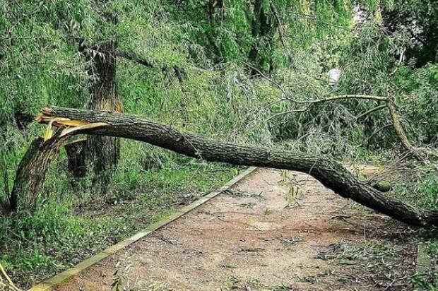 В ландшафтном парке «Митино» две ивы упали на пешеходную дорожку
