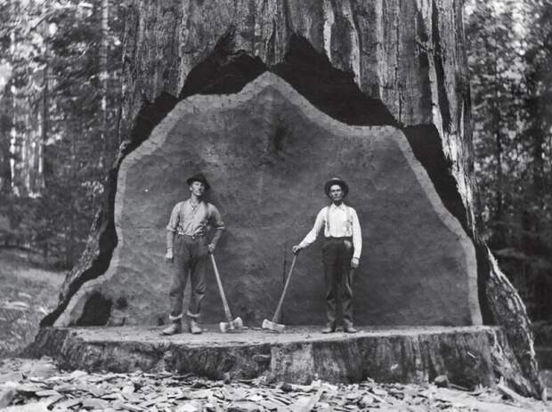 Величественные бессмертные гиганты: топ-10 интересных фактов о секвойе