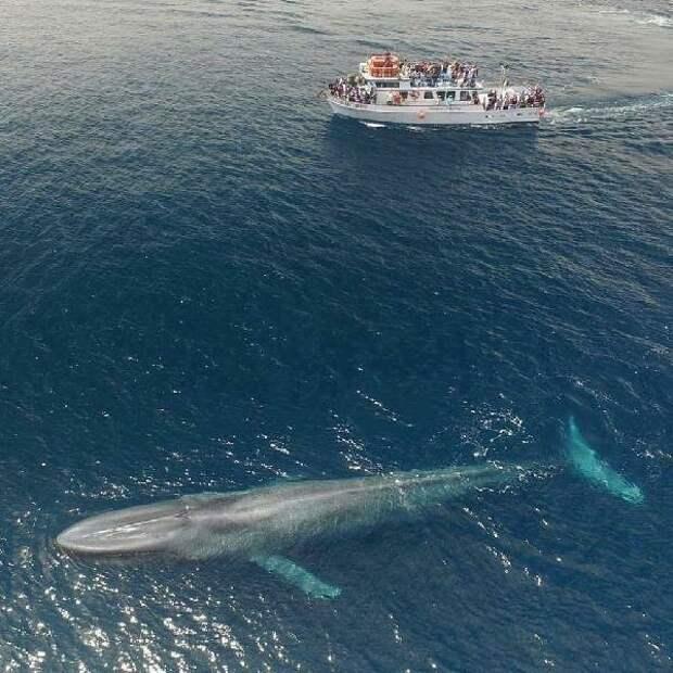 Молодой Синий кит на поверхности.