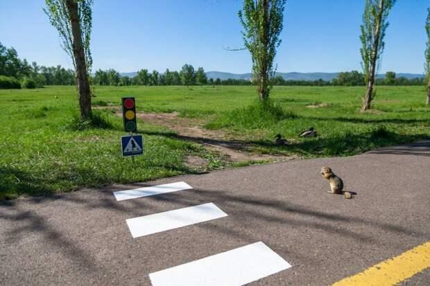 В Красноярске сделали пешеходный переход для… сусликов