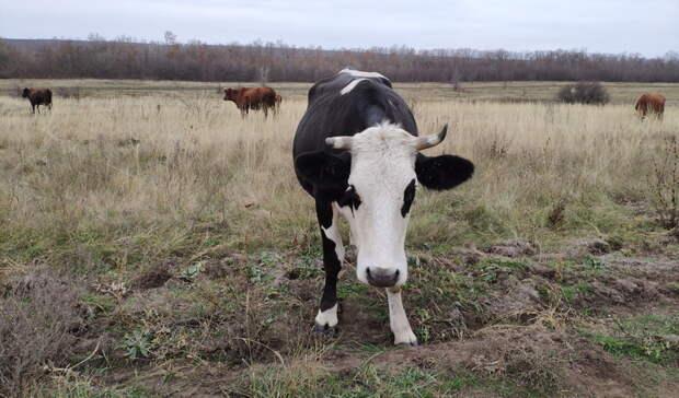 Новую вспышку бруцеллеза выявили в Волгоградской области