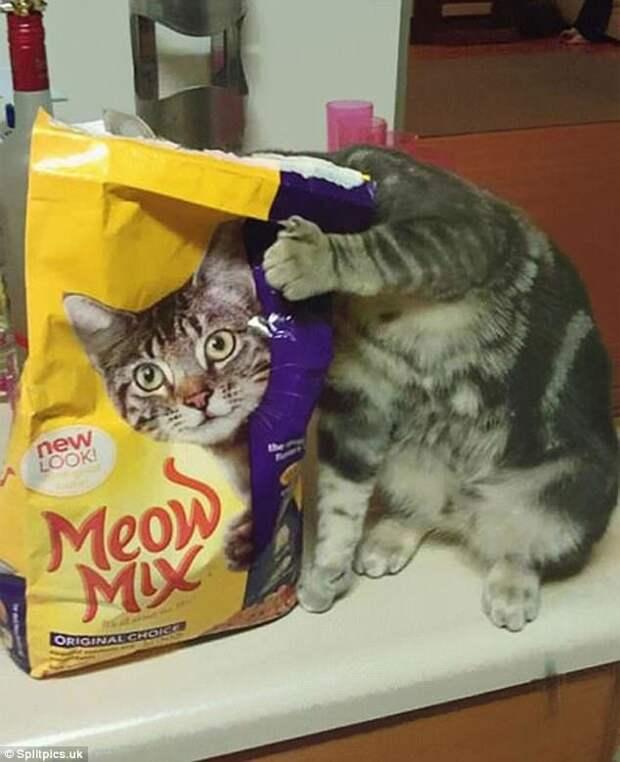 10. Очень голодный кот домашние животные, коты, кошки, маскировка, маскируется, прятки, смешные кошки