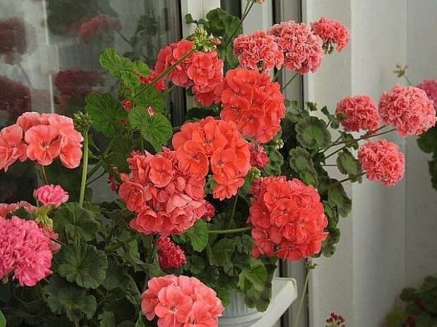 Обильное цветение невозможно без запаса питательных веществ (фото из интернета)