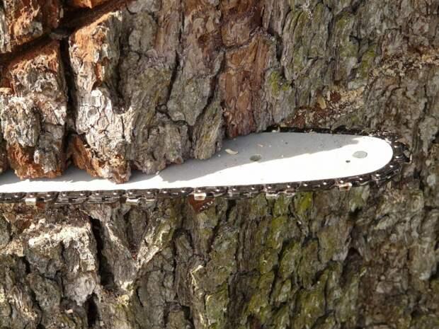 В Хорошевке успели спилить сухое дерево до того, как оно упало