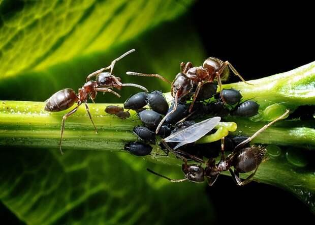 Проверенный способ побороть садовых муравьев без химии