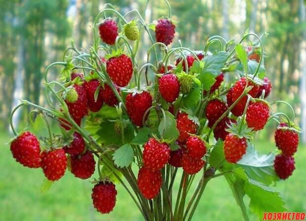 Как увеличить урожай земляники в два раза