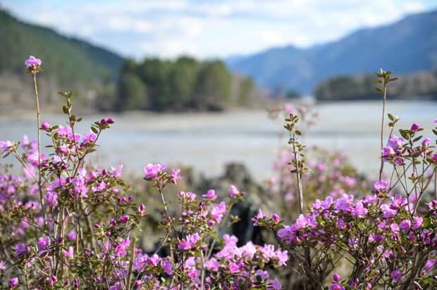 На Алтае распустился маральник — посмотрите на 10 снимков цветов от новосибирского фотографа