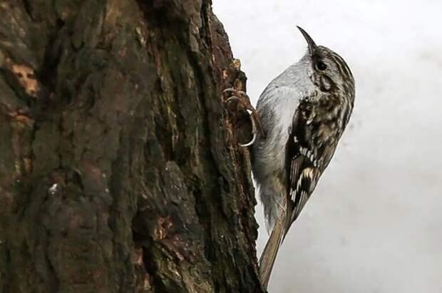 В парке «Тушинский» экологи встретили птицу-древолаза