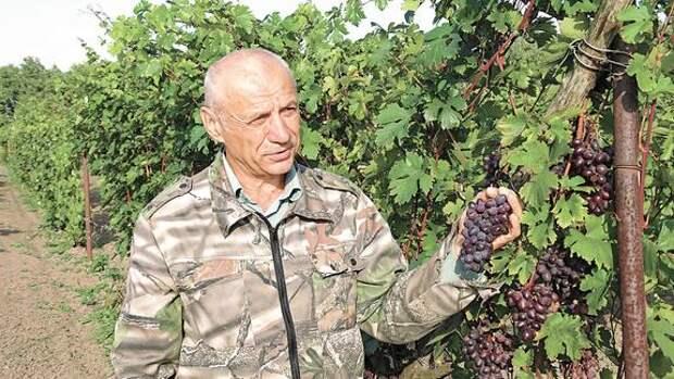 Виноделы средней полосы – не фантастика