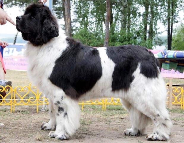 Ньюфаундленд - большая и пушистая собака
