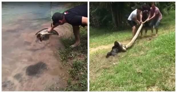 Бразильцы вытащили собаку из смертельных объятий анаконды анаконда, бразилия, видео, животные, змея, собака, спасения