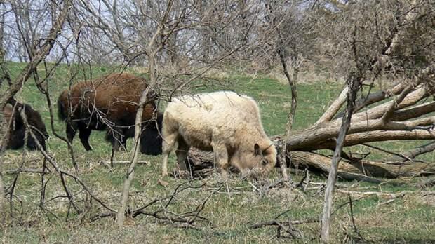 45 тысяч американцев хотят убить 12 бизонов в Гранд-Каньоне