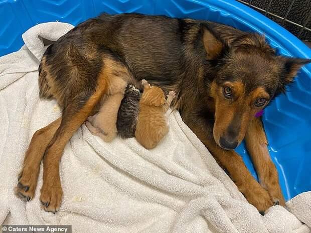 Материнский инстинкт: собака взялась выкармливать осиротевших котят