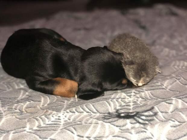 Женщина подложила новорожденного котенка, кормящей собаке