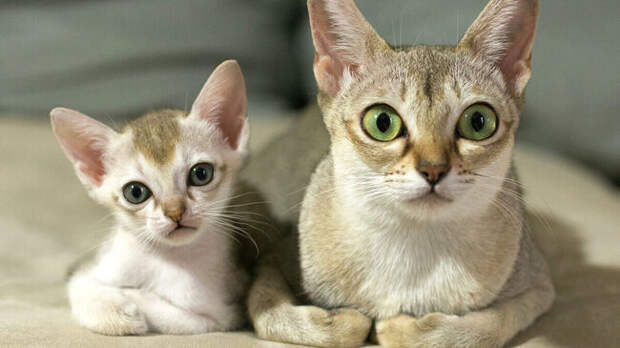Самые маленькие в мире породы кошек