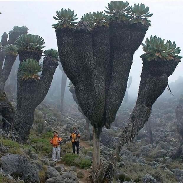И просто огромные растения. Суккуленты на горе Килиманджаро