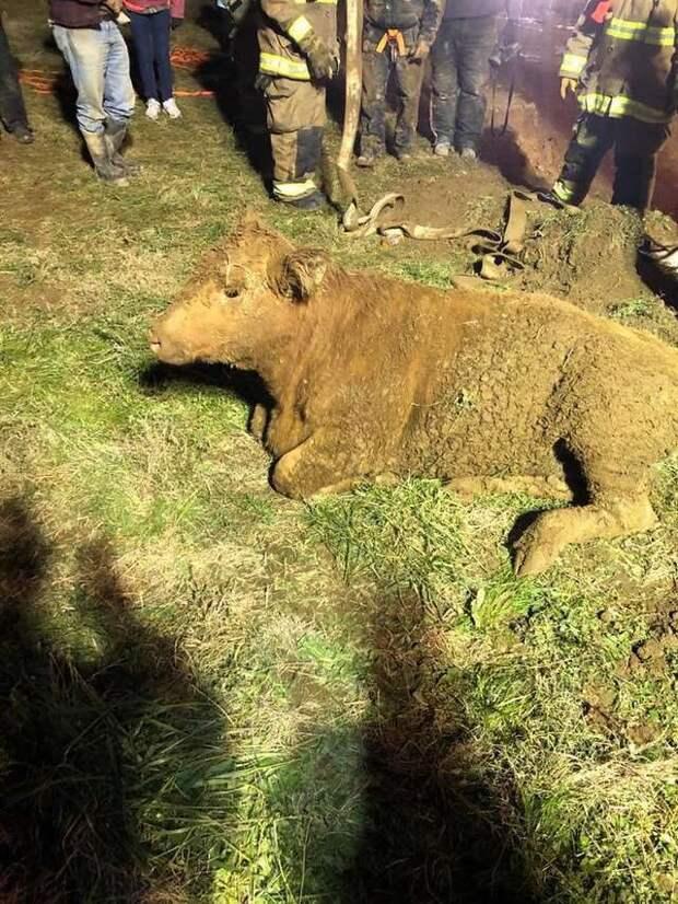 Корова провалилась в яму глубиной 6 метров! Ее пытался спасти отважный парень, но не смог сделать этого в одиночку…