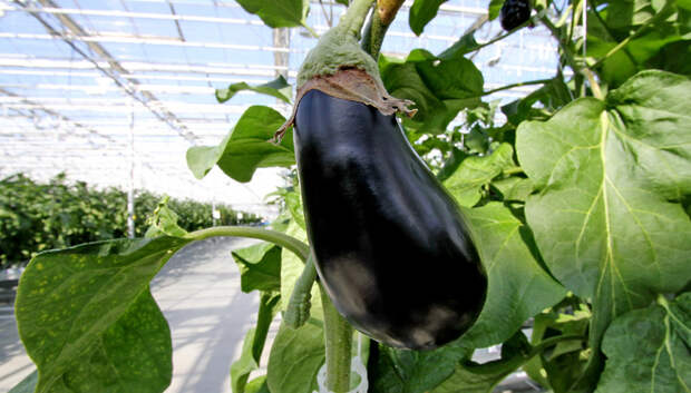 Инновационную систему для тепличного овощеводства разработают в Подмосковье