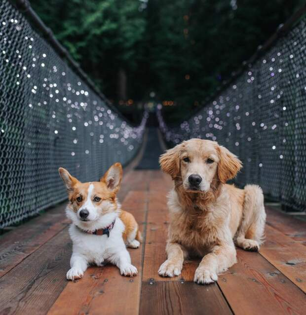 Спасенный из Китая ретривер и корги стали лучшими друзьями instagram, дружба животных, золотистый ретривер, корги, порода, ретривер, собака