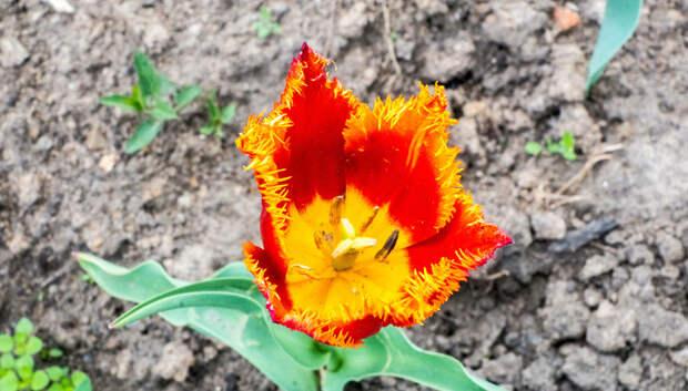 Семь сортов тюльпанов высадили в Подольске к празднованию 75‑летия Победы