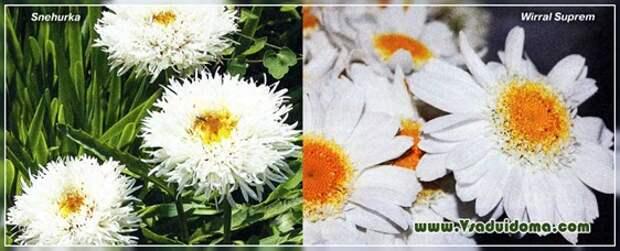 Ромашки-нивяники (фото) — виды и сорта, посадка и размножение