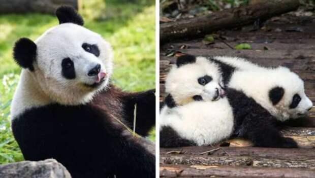 Беременность у животных длится совсем не так, как у людей. И вот 16 милейших примеров